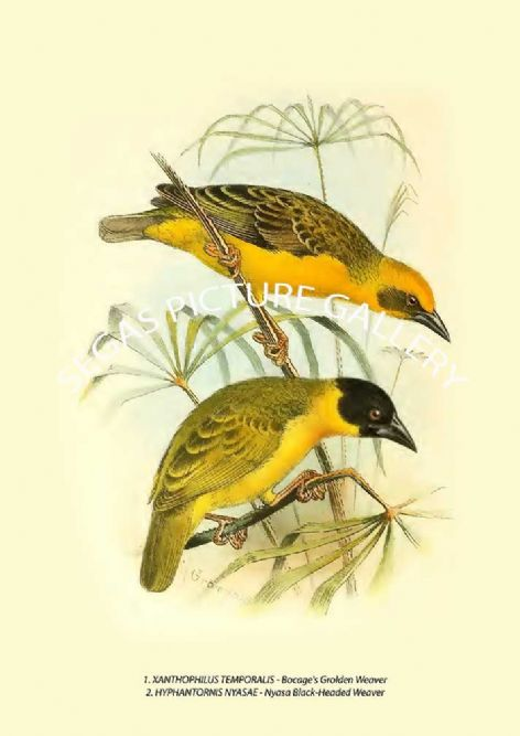 Fine art print of the XANTHOPHILUS TEMPORALIS - HYPHANTORNIS NYASAE - Nyasa Black-Headed Weaver by G E Shelley (1900-1912)